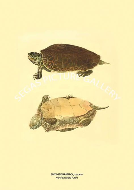 Fine art print of the EMYS GEOGRAPHICA, Lesueur Northern Map Turtle by John Edwards Holbrook (1842)